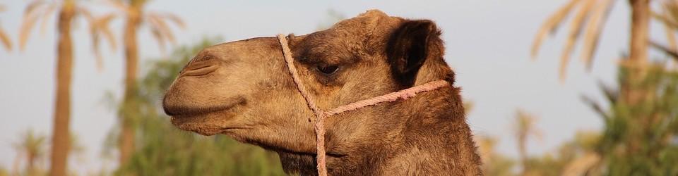 camel-1494724_960_720